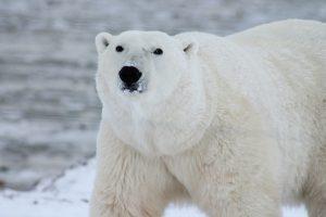 Polar Bear Walk + We Create Change